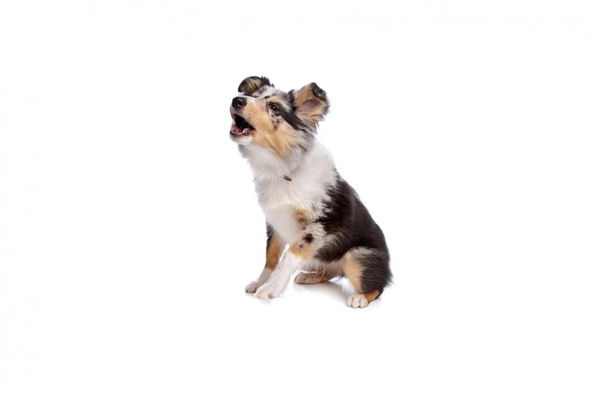 chien abboie