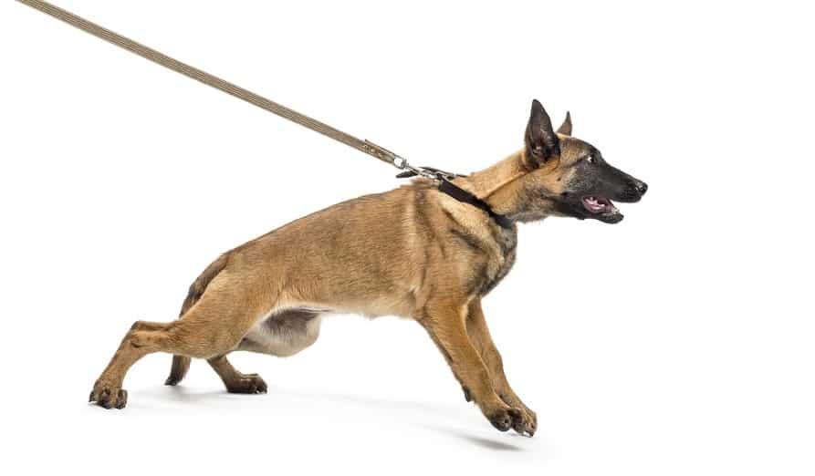 chien tire sur sa laisse